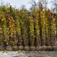 В Лужниках высаживают лес (ФОТО)