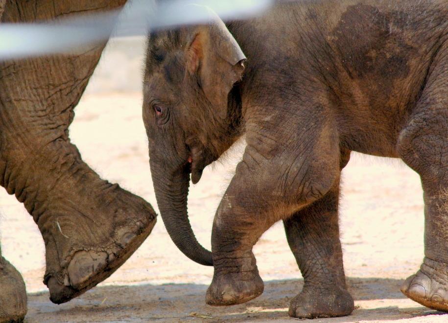 Слоненок среди взрослых животных