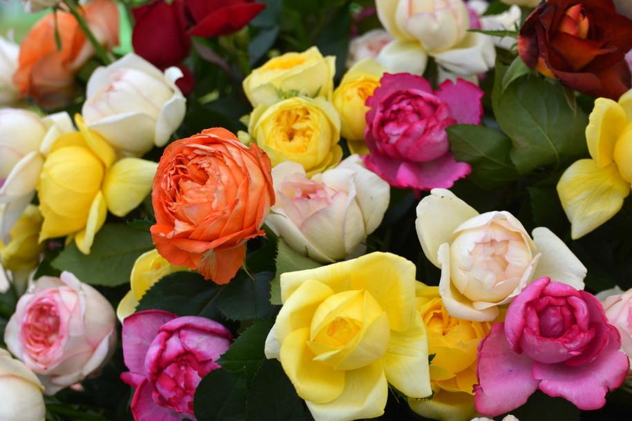 Фестивальная роза по имени «Москва»