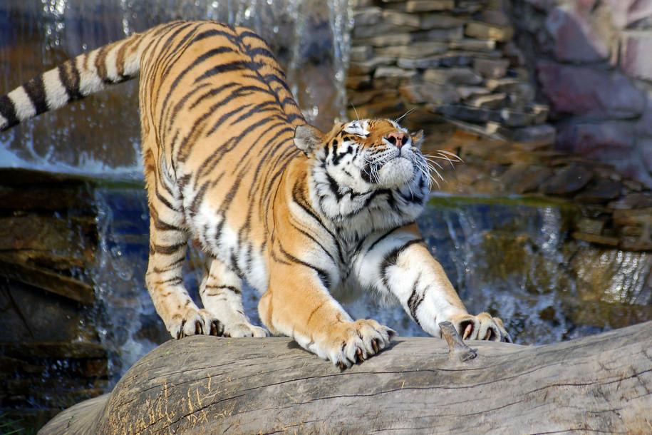 Московский зоопарк отпразднует День тигра