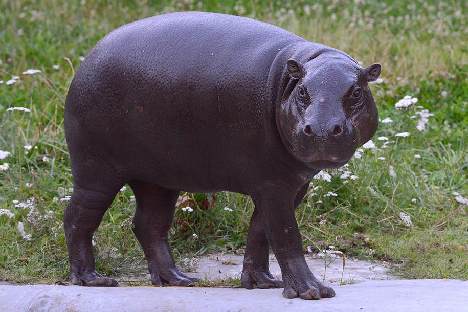 В Московском зоопарке появился карликовый бегемот