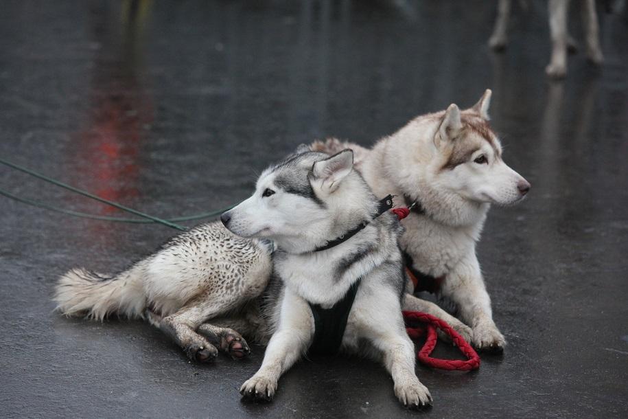 В парке «Сокольники» пройдут катания на собачьих упряжках