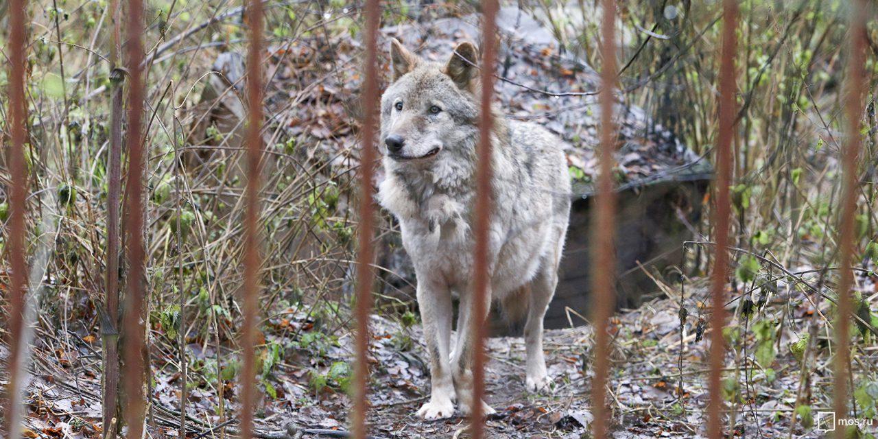 В ТиНАО на окраине деревни нашли прирученную волчицу