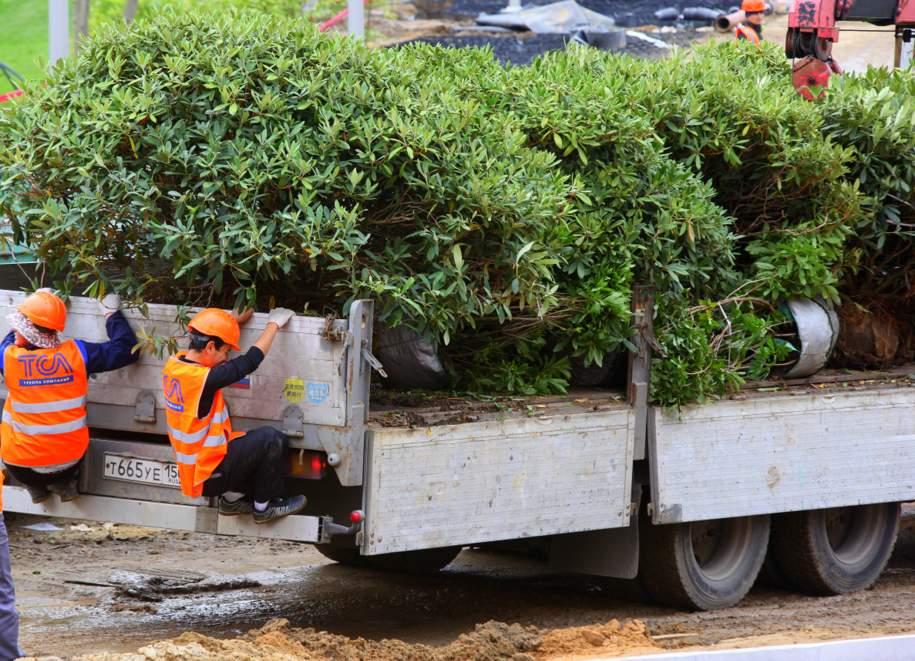 В ходе озеленения столицы высадят более 140 тысяч кустарников