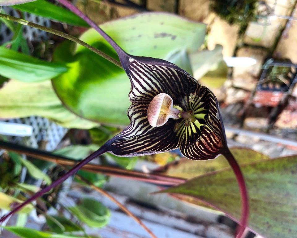 В «Аптекарском огороде» зацвела дикая орхидея-вампир