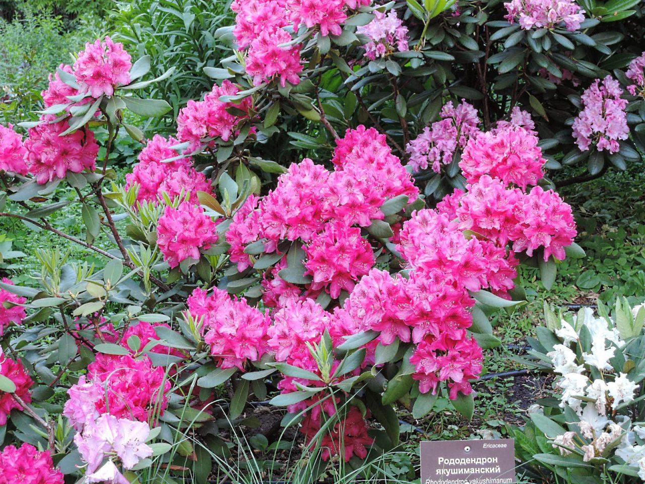 В Аптекарском огороде пройдут две выставки «розовых кустарников»