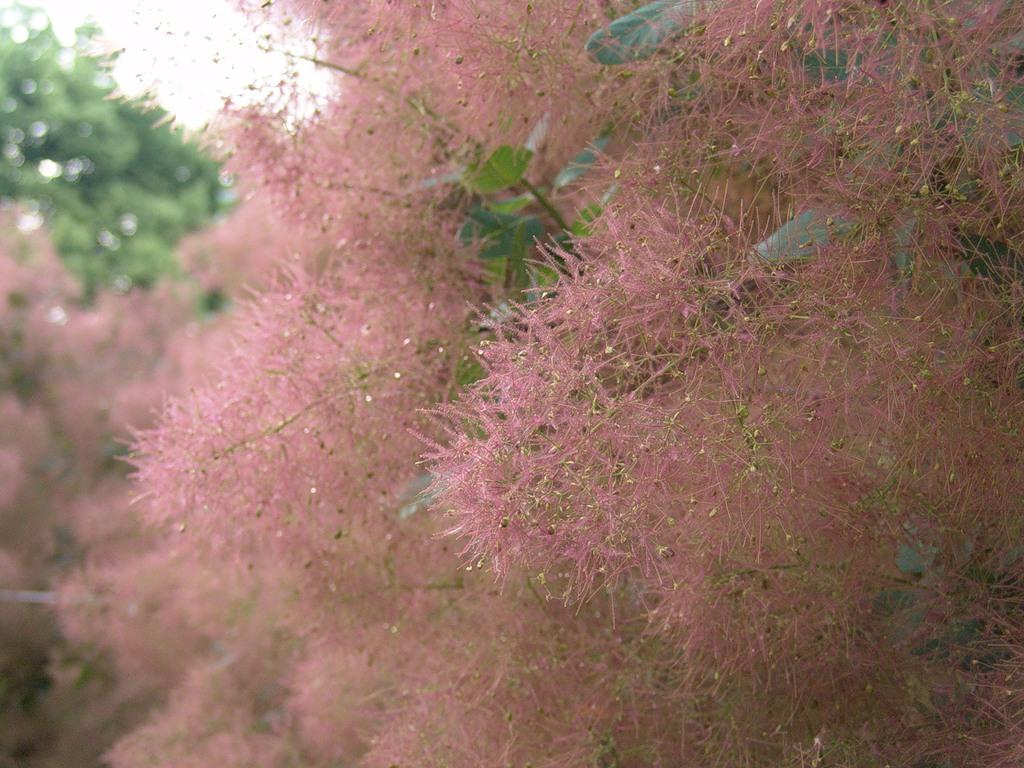 Розовое Дымное дерево расцвело в «Аптекарском огороде»