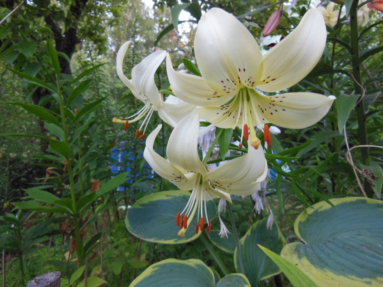 Две выставки лилий и растений второй половины лета пройдут в «Аптекарском огороде»