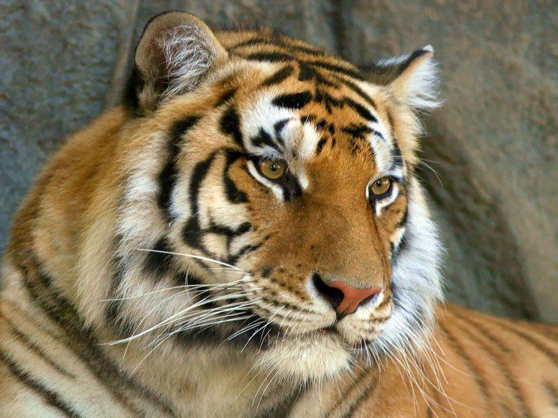 В кассах метро появится карта «Тройка» с изображением амурского тигра