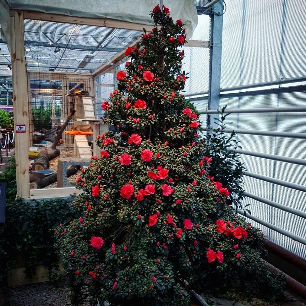Уникальная новогодняя азалиевая «ёлка» расцвела в «Аптекарском огороде»