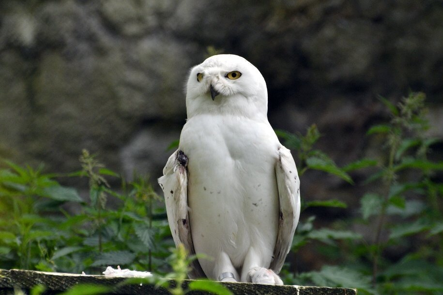 В парке «Сокольники» заметили полярную сову