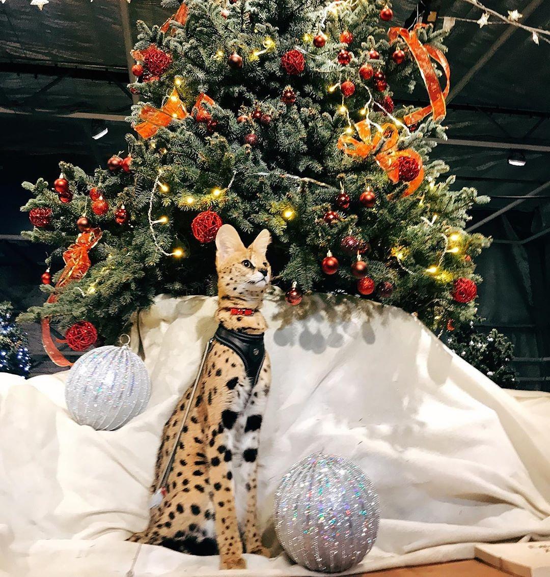 Финал выставки самых дорогих кошек пройдет в «Аптекарском огороде»
