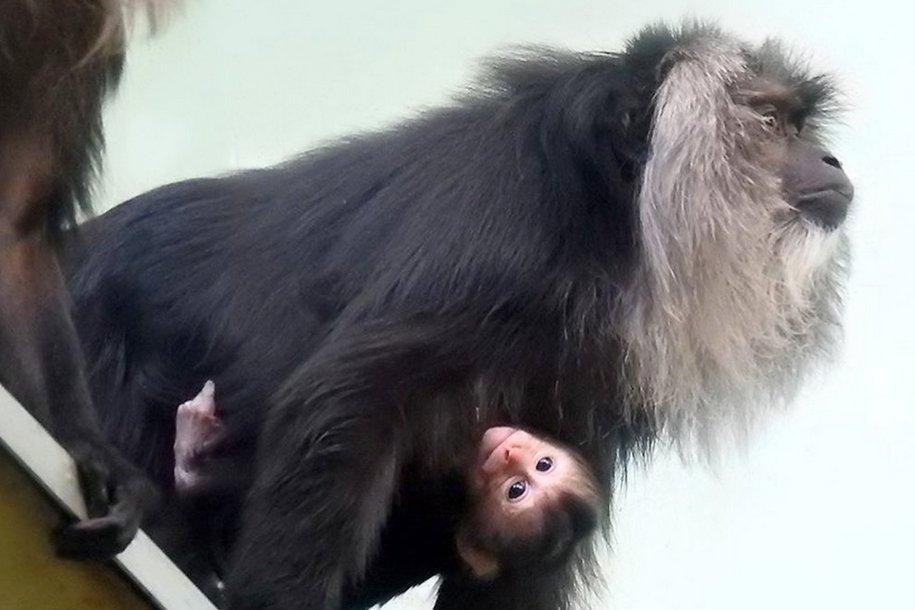 В Московском зоопарке родилась редкая обезьяна