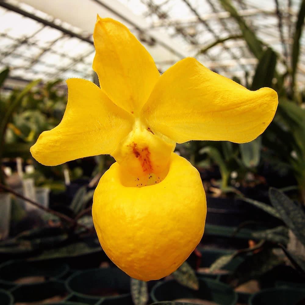 Посетители «Аптекарского огорода» могут полюбоваться на золотой венерин башмачок