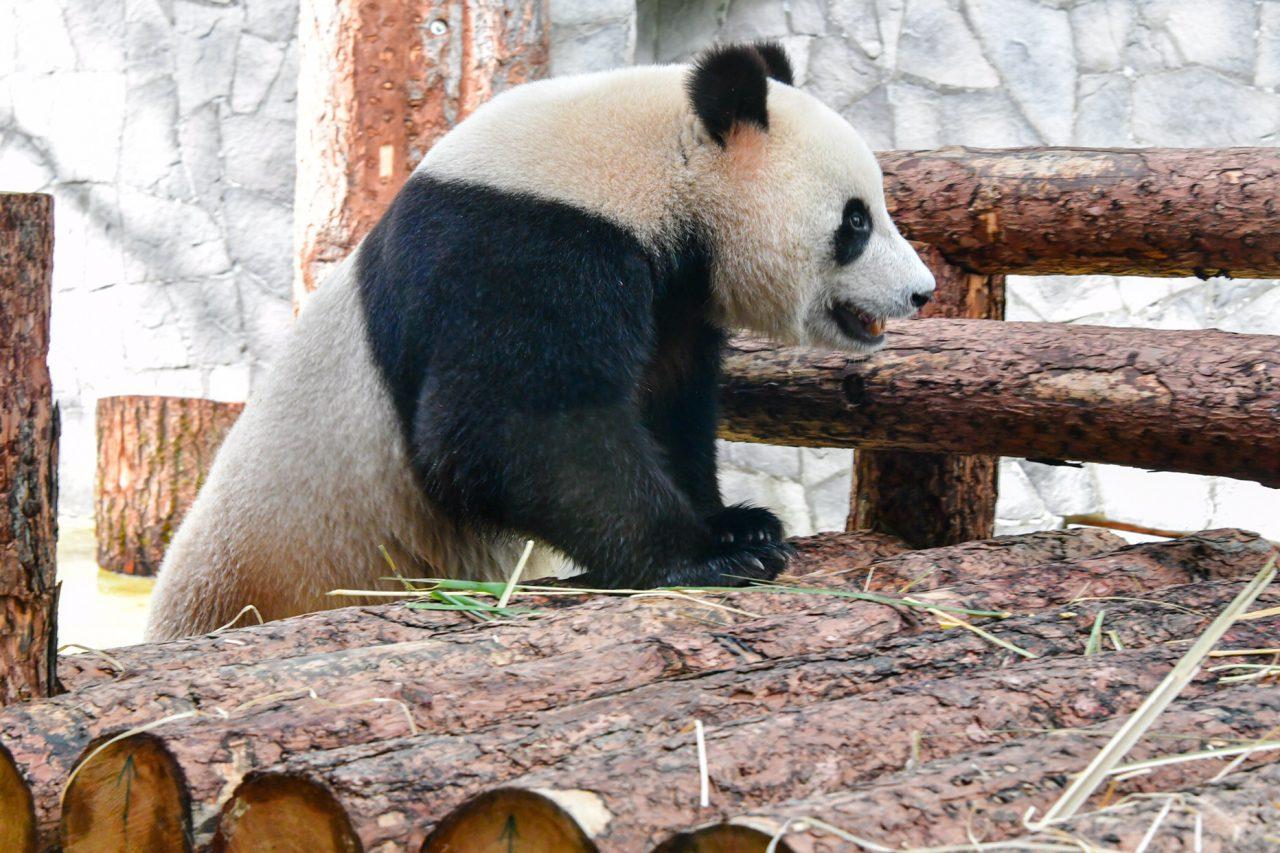 В Московском зоопарке поселились две большие панды из Китая