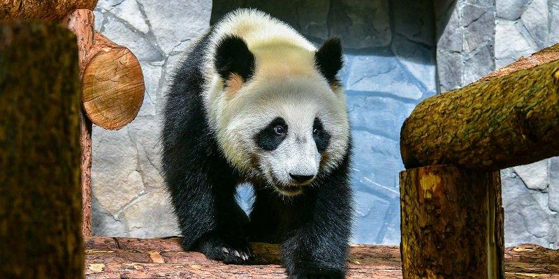 За пандами можно будет наблюдать он-лайн