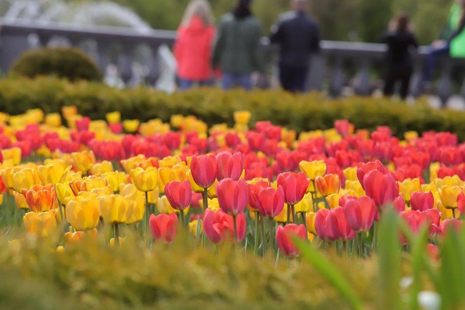 В столице высадят более 13 миллионов луковиц тюльпанов