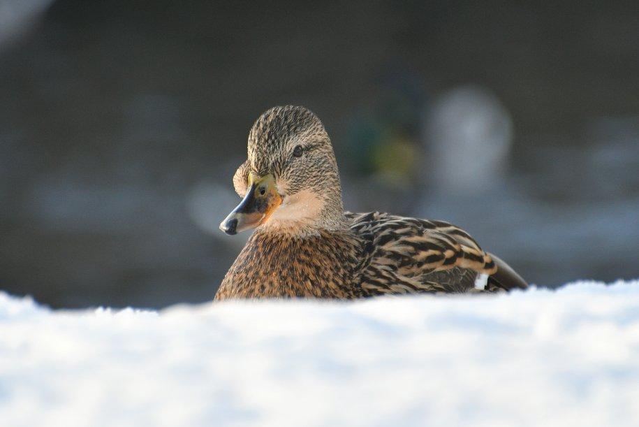 На столичных водоёмах остались зимовать около 10 тысяч водоплавающих птиц