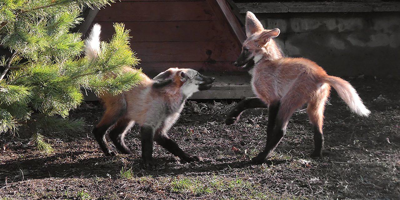 В Московском зоопарке родились щенки гривистого волка