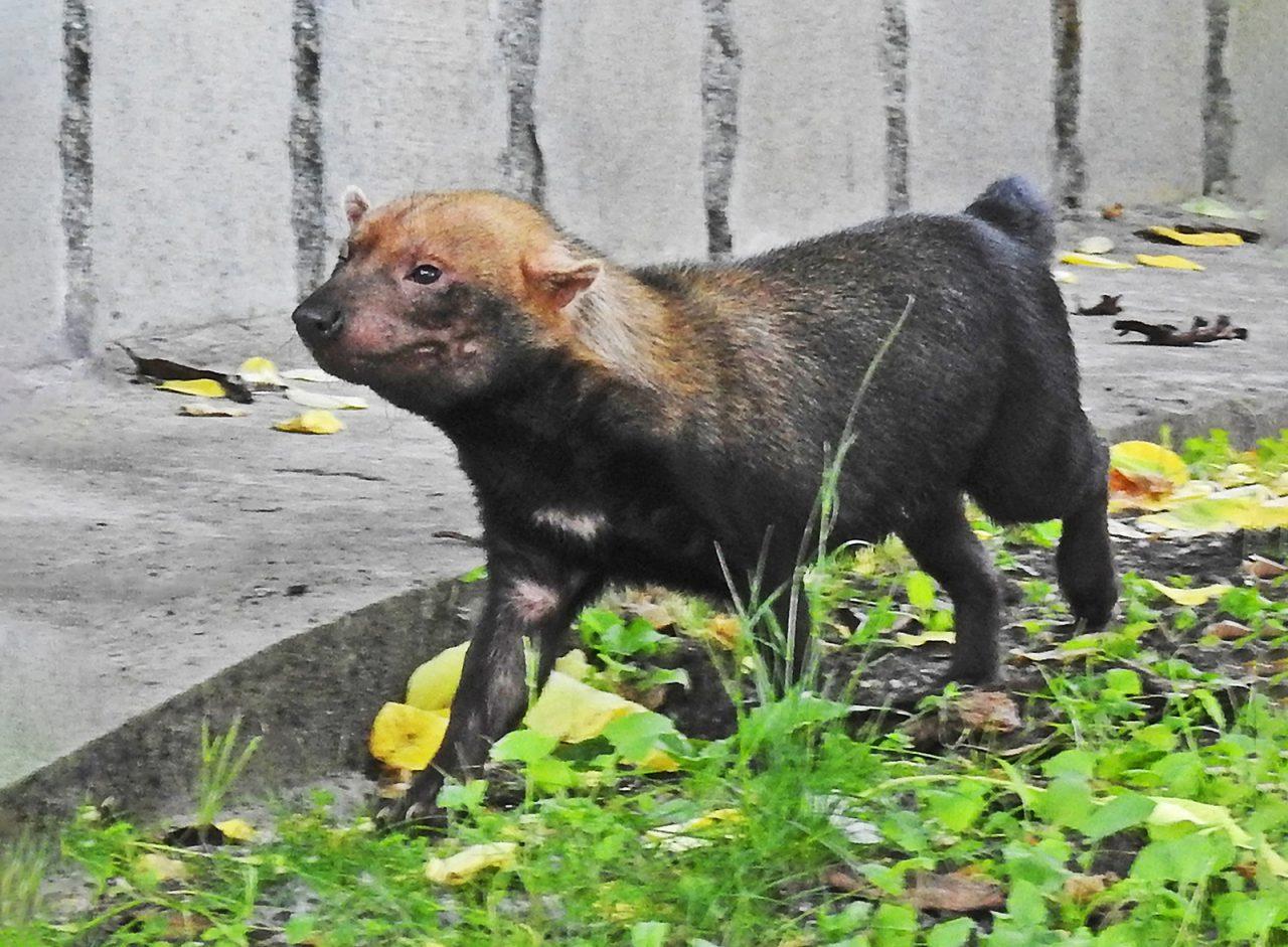Три редких щенка появились на свет в Московском зоопарке