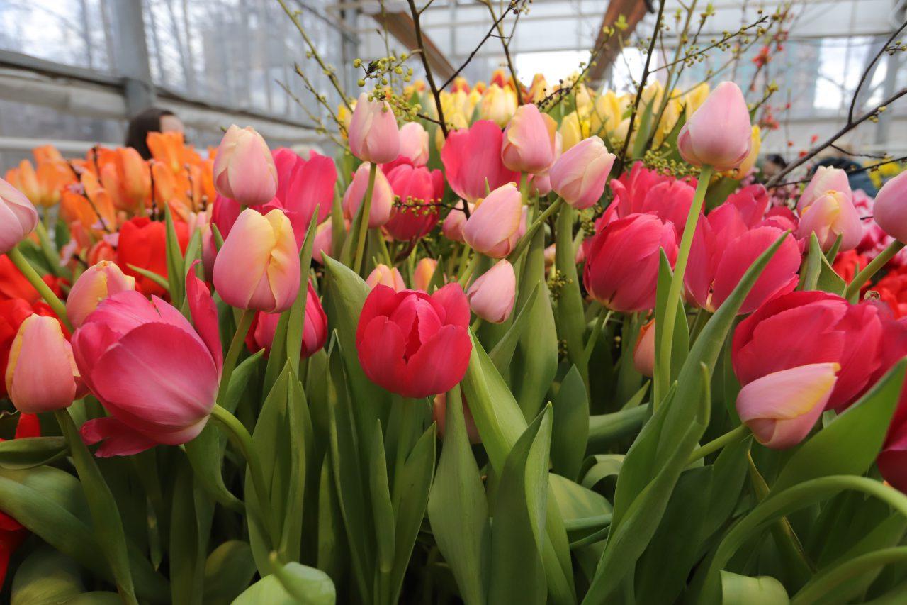 По тысяче букетов тюльпанов будут дарить ежедневно первым посетителям «Аптекарского огорода» 10-13 марта