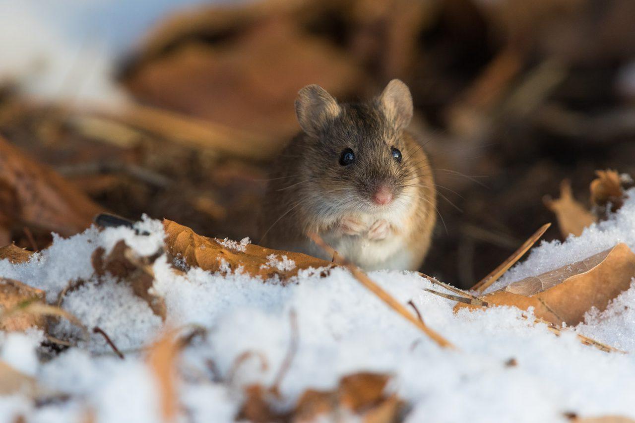 В Терлецком лесопарке заметили полевых мышей