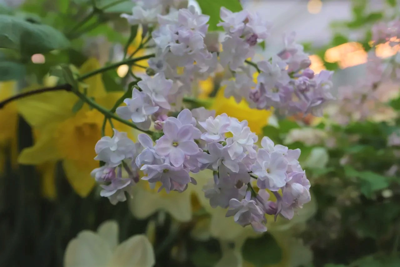 Погода в Москве благоприятствует цветению сирени