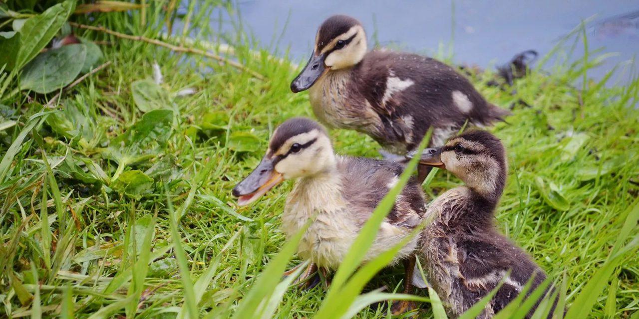 Более 800 птенцов вывели водоплавающие птицы в Москве