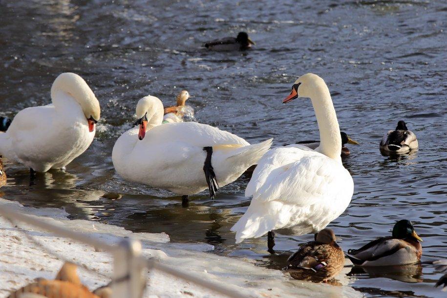 Городских лебедей перевели на зимовку в тёплые вольеры