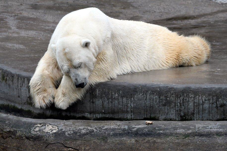 В столичном зоопарке умерла белая медведица Мурма