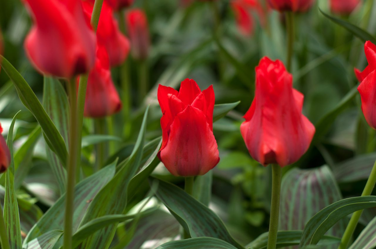 В «Аптекарском огороде» расцвели первые тюльпаны