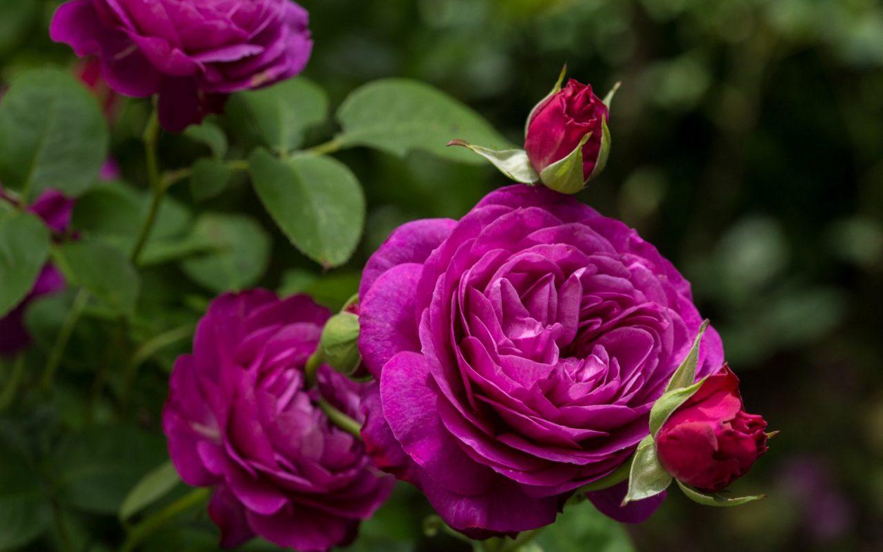 Выставка роз пройдёт с 28 июня по 5 июля в «Аптекарском огороде»