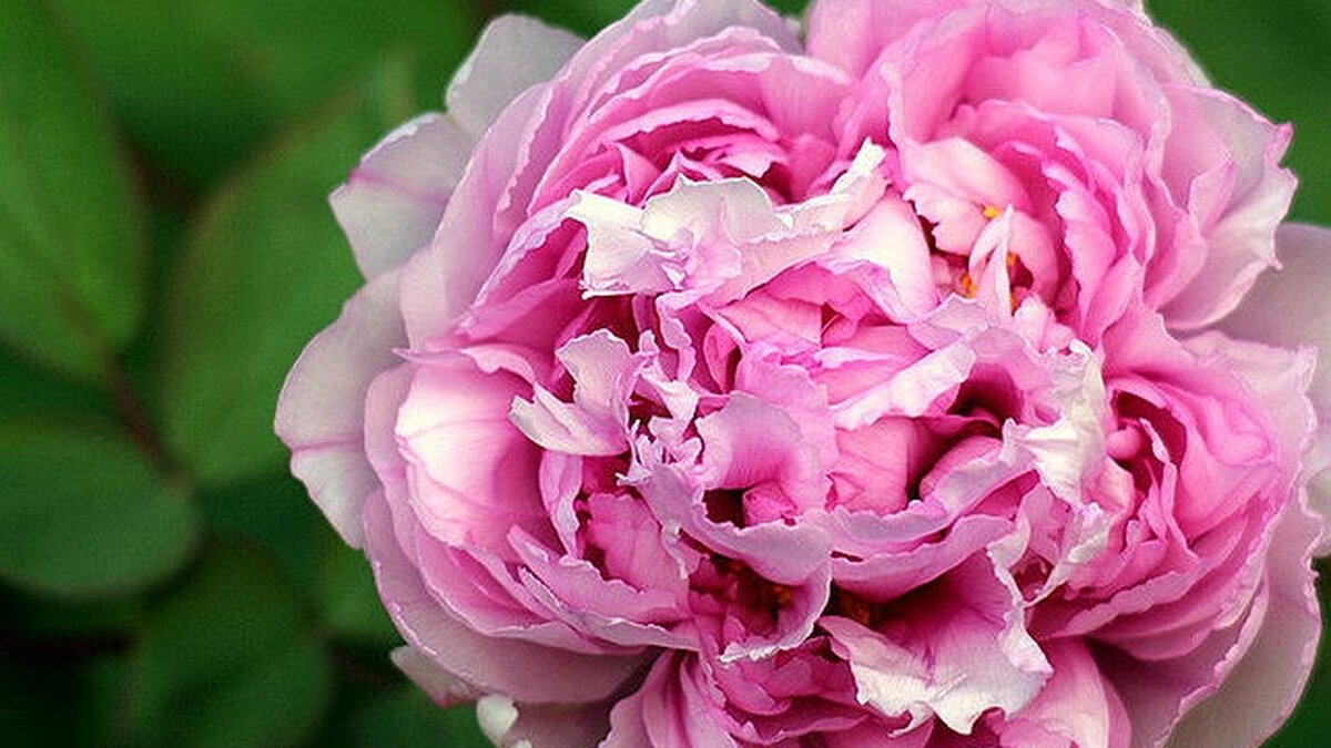 Пионы среднего срока цветения представят с 12 по 14 июня в «Аптекарском огороде»
