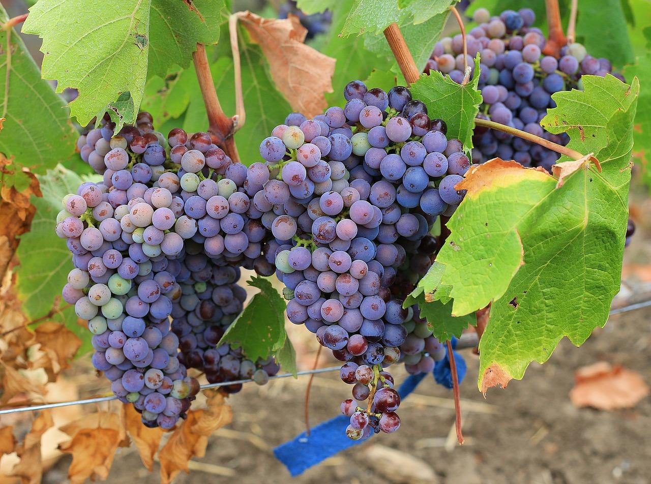 Выставка винограда с дегустацией пройдет 18 сентября в «Аптекарском огороде»